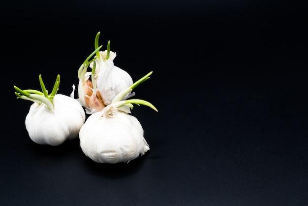 Rebento de alho crescendo como nova vida, agricultura orgânica na natureza
