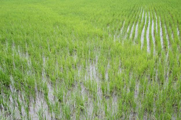 Rebento de arroz nos campos.