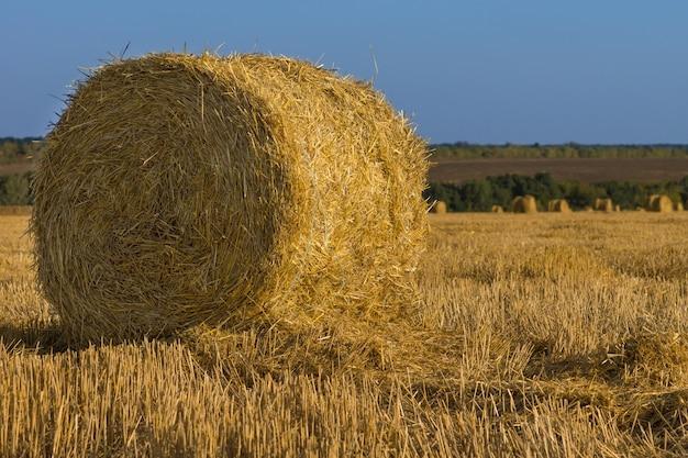 Recém-colhido e enfardado fardo de feno dourado redondo em um campo agrícola para ser usado como forragem de inverno para o gado