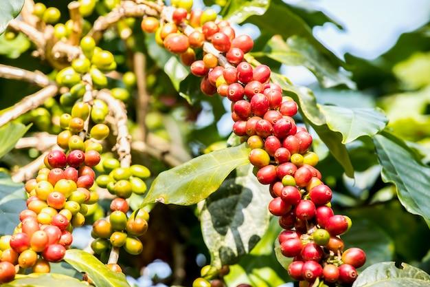Recém grãos de café, amadurecendo crescendo na árvore com folhas de café