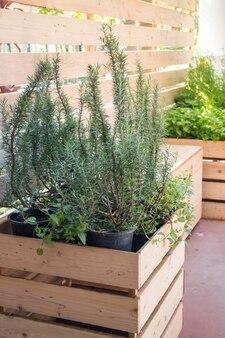 Recentemente aroma ervas crescendo no jardim