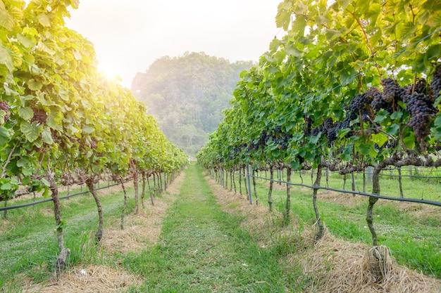Recentemente uvas shiraz, vinhas na colheita de outono