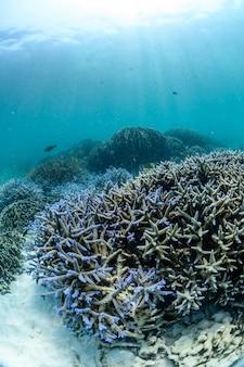 Recife de corais de staghorn na ilha de boulder no mar de andaman perto de ranong tailândia, myanmar.