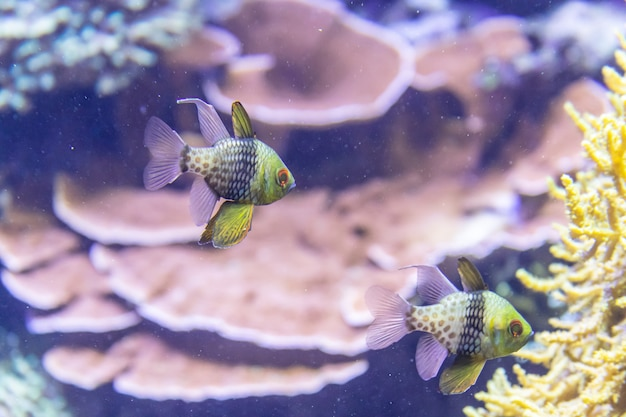 Recifes de corais coloridos com peixes tropicais