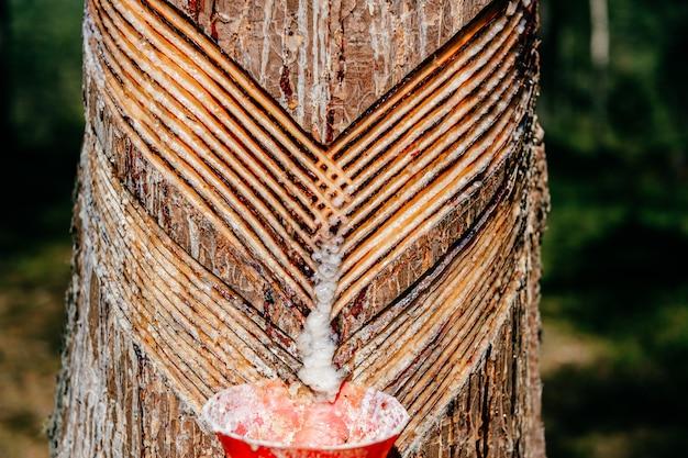 Recolha de resina de pinheiro