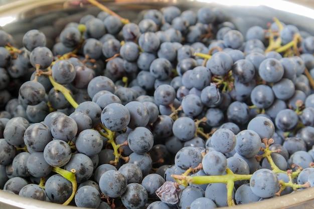 Recolha de uvas maduras. fundo de uvas para vinho tinto. uvas para vinho escuras pretas, azuis ou vermelhas recém-colhidas. frutas saudáveis. cachos de uvas prontos para comer. textura de bagas como pano de fundo. tipo de uva.