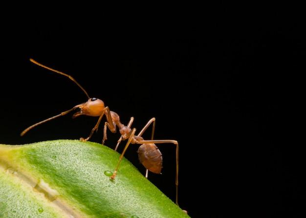 Red carpenter ant, ou pirâmide de formiga em uma folha