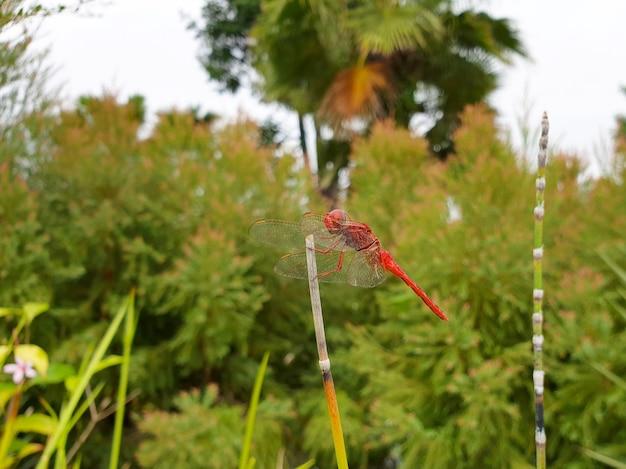Red dragonfly no jardim público