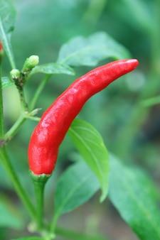 Red ripe bird's eye chili ou thai chili peppers crescendo em seu arbusto