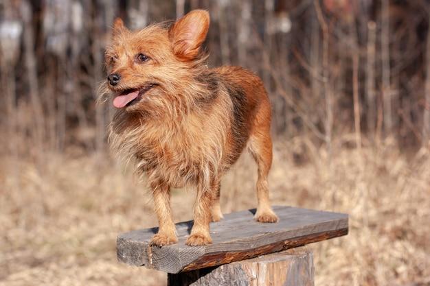 Red yorkshire terrier com a língua para fora está de pé em uma prancha na floresta