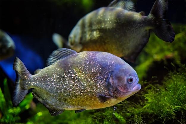 Redbellied piranha piranha vermelha