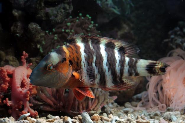 Redbreasted peixes no fundo do mar e recifes de coral