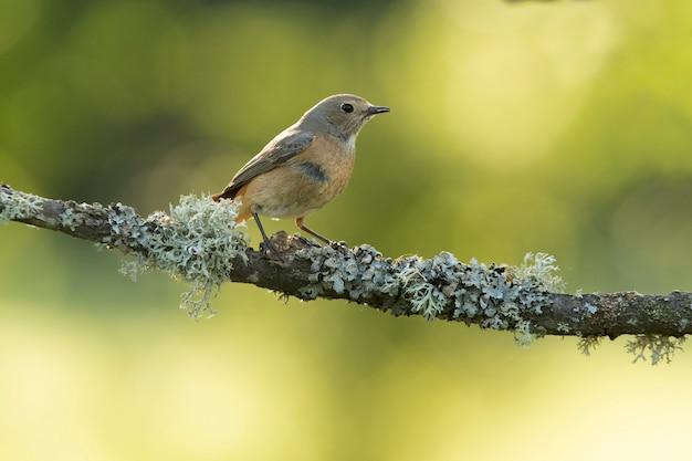 Redstart feminino comum com última luz do dia em uma floresta de carvalhos