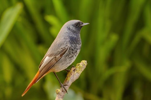 Redstart preto masculino, phoenicurus ochruros