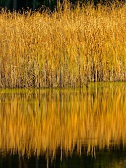 Reed em um lago com reflexos na luz do pôr do sol