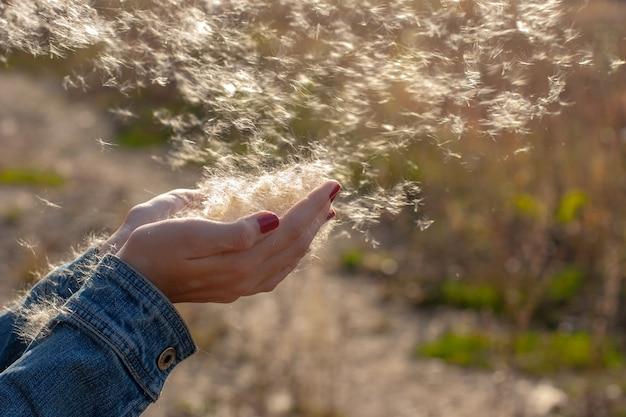 Reed fluff espalha-se pelas mãos