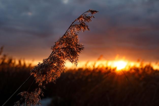 Reed nos raios de um pôr do sol dourado como pano de fundo.