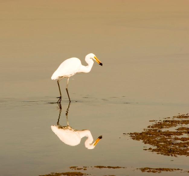 Reflexão, de, egret, em, água