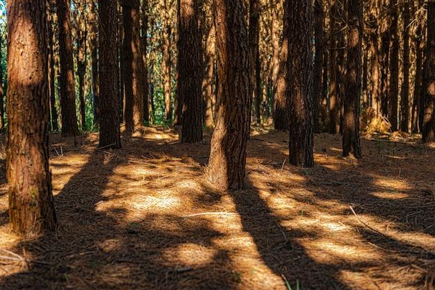 Reflorestamento de pinus elliot dentro de uma fazenda.