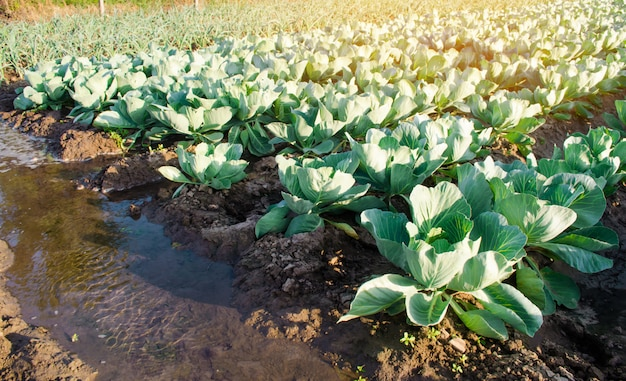 Rega natural de culturas agrícolas, irrigação. plantações de repolho crescem no campo.