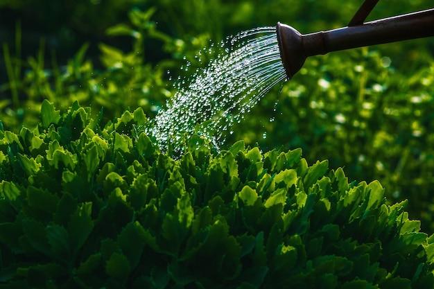 Regando plantas verdes no jardim, copie o espaço