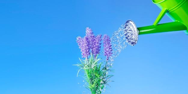 Regar o jardim em dia de sol. água verde rega planta de lavanda no azul
