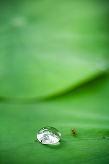 Relação entre inseto e gota d'água na folha de lótus