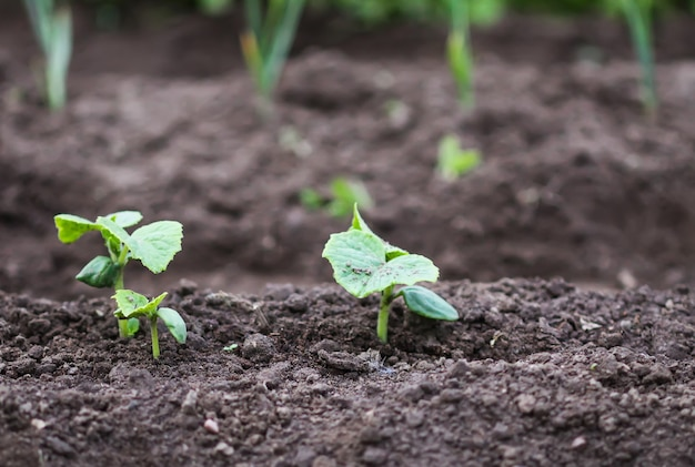 Removendo ervas daninhas na horta. legumes jovens.