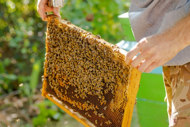 Removido do quadro de colméia. quadro de colméia de madeira, com poucas abelhas operárias apis mellifica. células da ninhada tampadas e pente sem tampa visíveis.