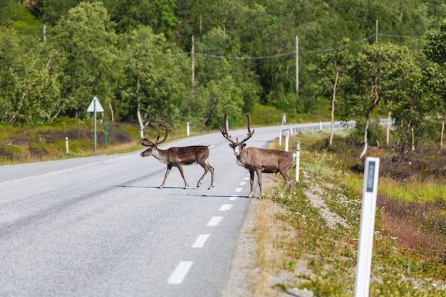 Rena na noruega na temporada de verão