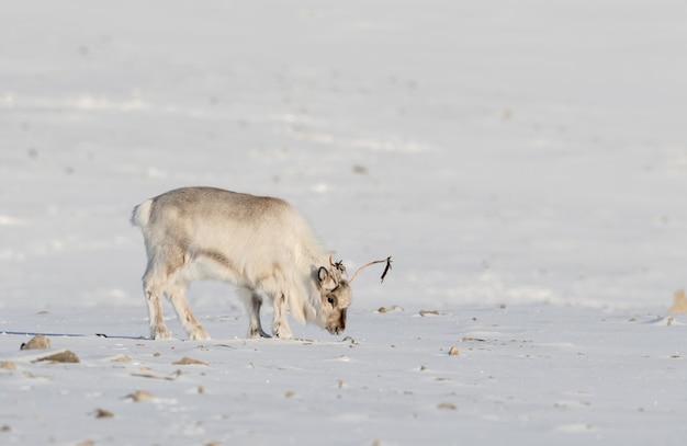 Rena selvagem de svalbard, platyrhynchus do tarandus de rangifer, procurando o alimento sob a neve na tundra em svalbard, noruega.
