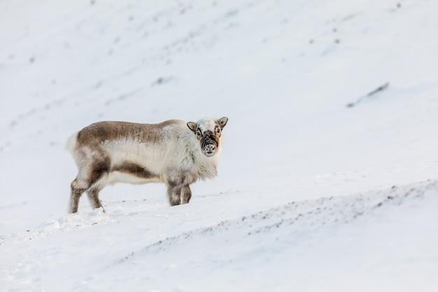 Rena selvagem de svalbard, rangifer tarandus platyrhynchus, parado na neve