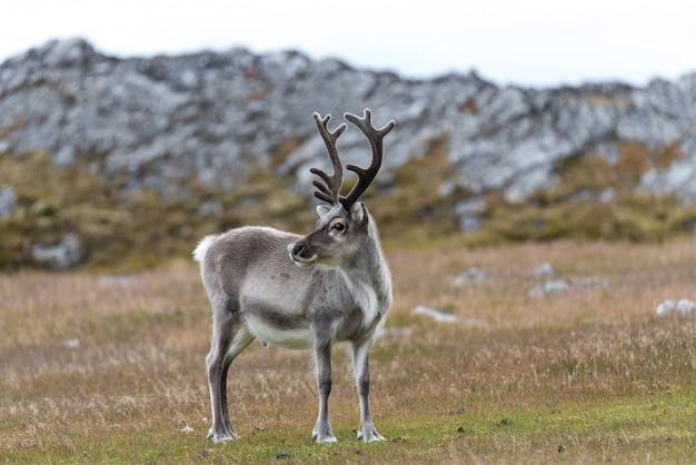 Rena selvagem na tundra no horário de verão