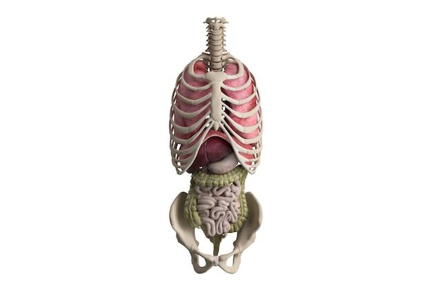 Renderização de órgãos internos humanos em cinema 4d