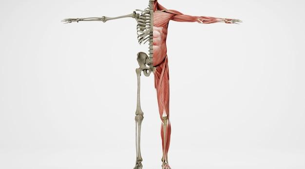 Renderização do cinema 4d de comparação da estrutura do corpo humano dentro e fora