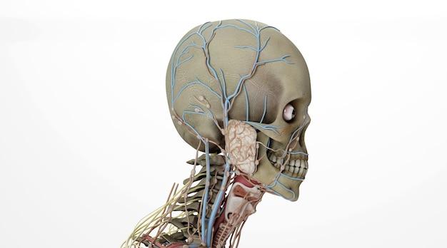 Renderização do cinema 4d de glândulas salivares em esqueleto humano isolado no fundo branco
