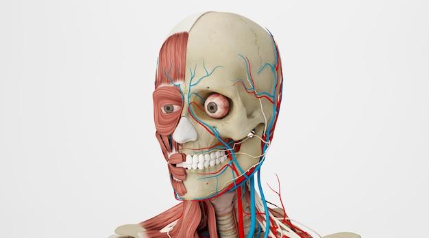 Renderização do cinema 4d de músculos e veias na cabeça humana isolada em um fundo branco