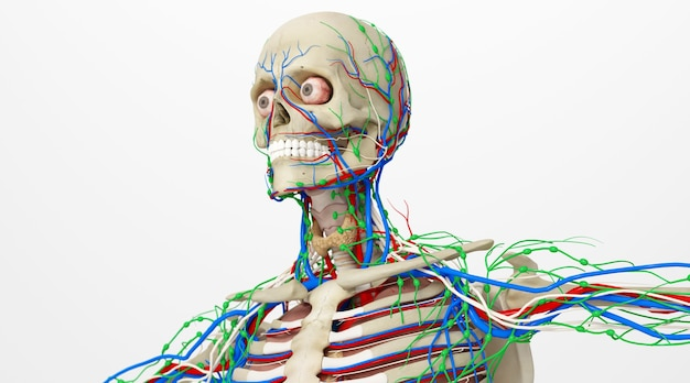 Renderização do cinema 4d de músculos no esqueleto do corpo humano isolado em um fundo branco