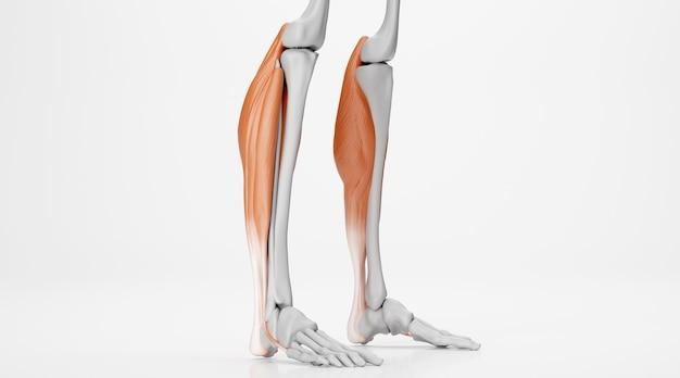 Renderização do cinema 4d de tendões na perna humana isolada em um fundo branco