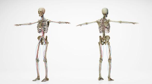 Renderização do cinema 4d do esqueleto humano na frente e atrás, isolado no fundo branco