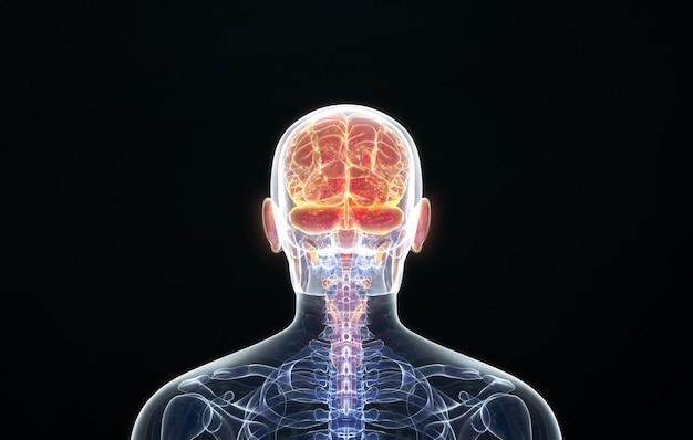 Renderização em cinema 4d da visão em perspectiva do cérebro posterior humano