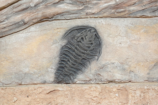Réplica de trilobite fóssil na parede
