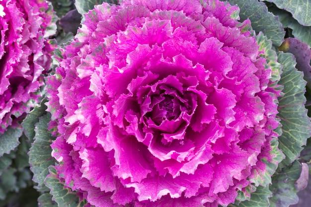Repolho decorativo rosa e verde