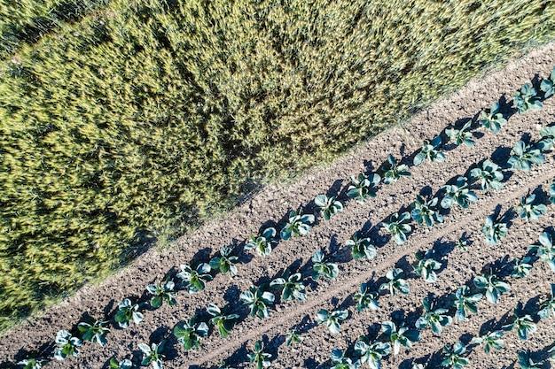 Repolho e trigo em um campo em bas-rhin - alsácia, frança