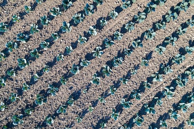 Repolho em um campo em bas-rhin - alsácia, frança