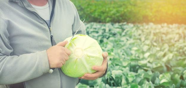 Repolho fresco no campo. boa colheita. agricultura. colheita de agroculturas