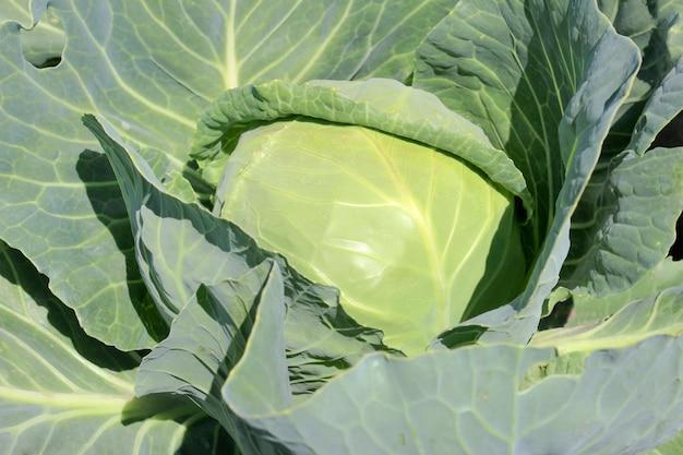 Repolho kachan em close-up do canteiro do jardim