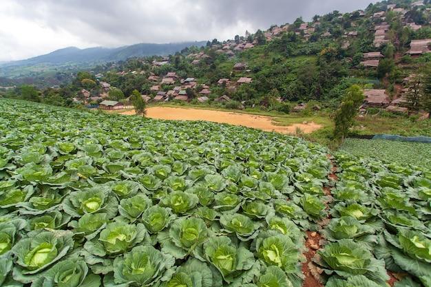 Repolho orgânico em um campo agrícola