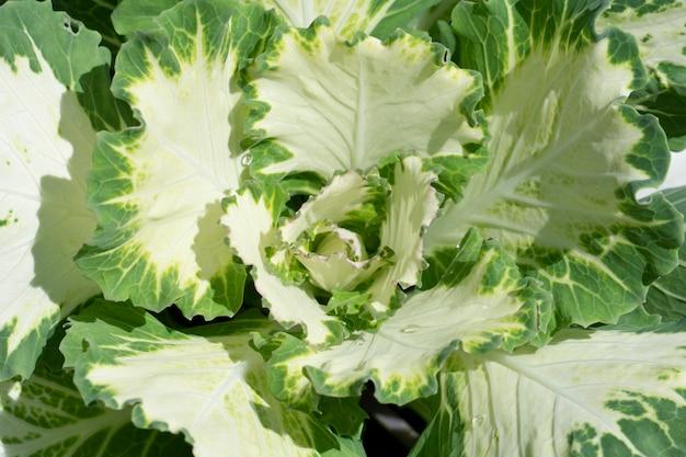 Repolho ornamental crescendo em uma cama de fazenda em uma horta. comida vegetariana crua fresca. foto de alta qualidade