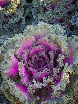 Repolho ornamental e culturas de repolho roxo no campo